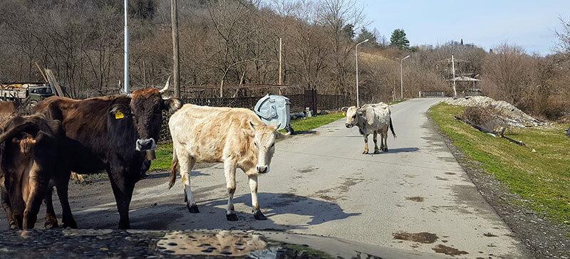 грузинские коровы