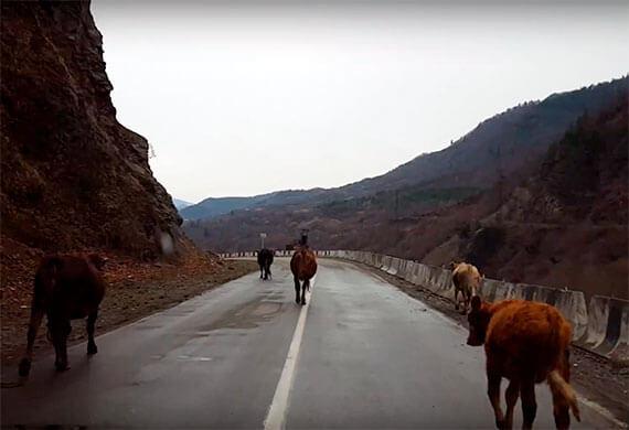 дорога в грузии с коровами